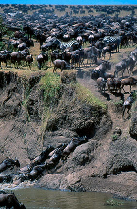 Masai Mara Animal migration